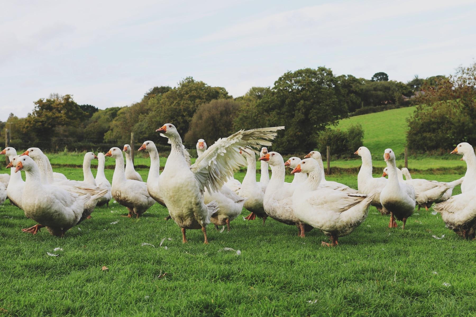 Goose hampshire