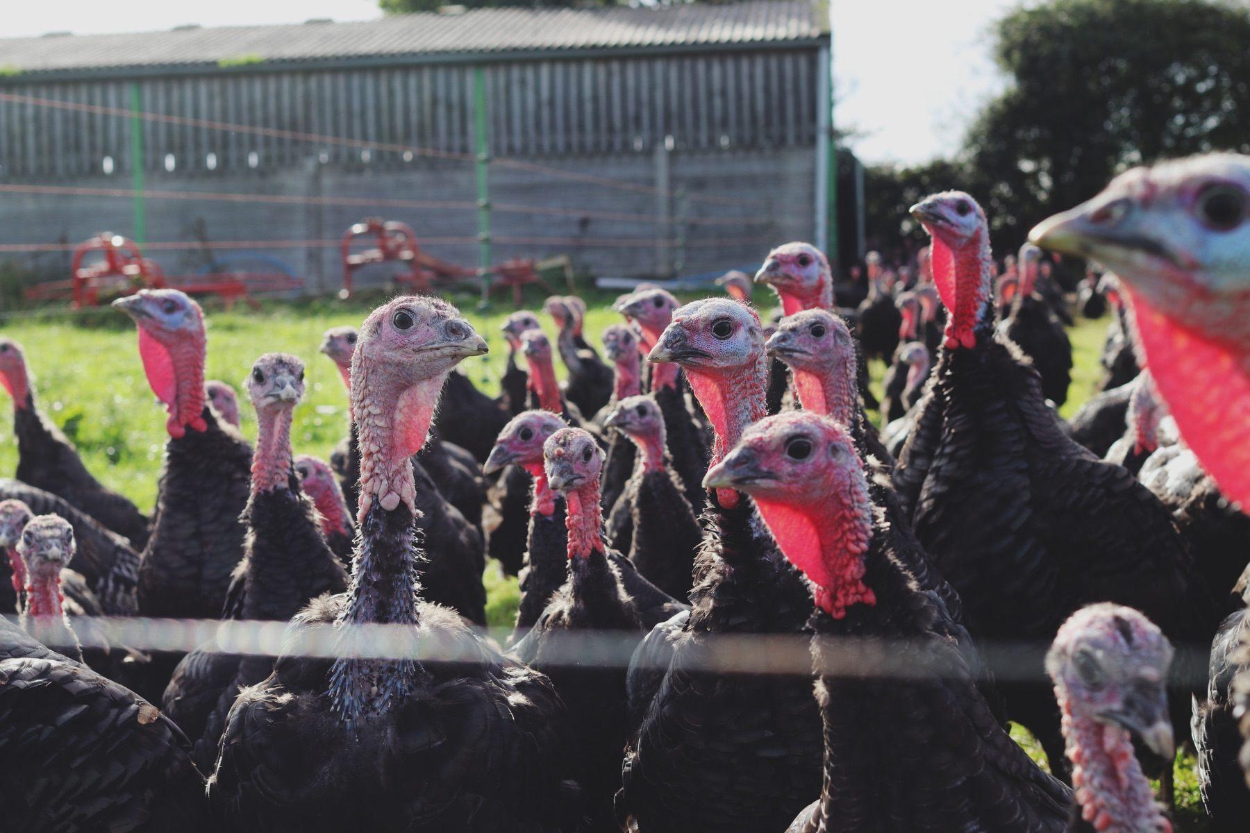 free range turkey hampshire